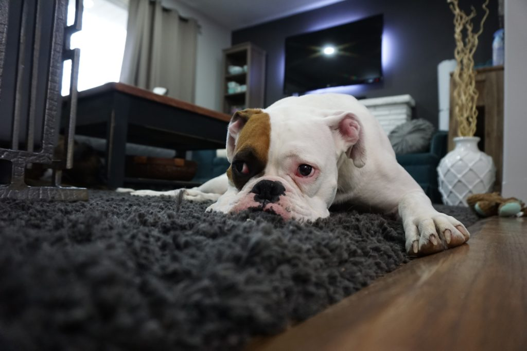 bulldog carpet gray