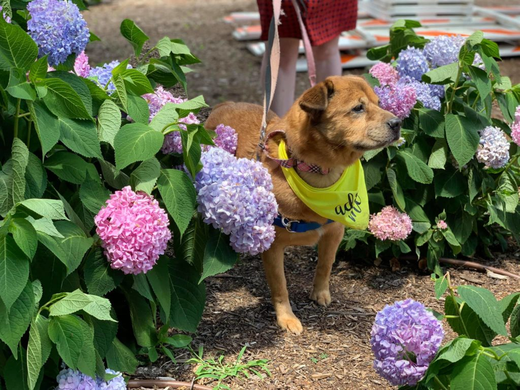 shelter rescue senior dog in park with flowers hydrangeas